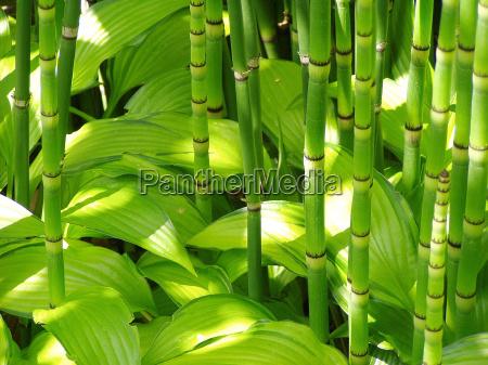 bamboo i hosta